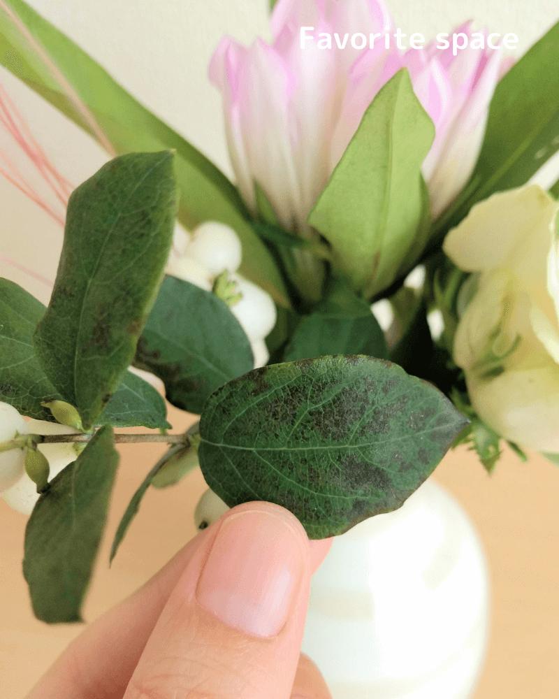 ブルーミーライフの黒ずんだシンフォリカルポスの葉の画像